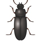 Flour Beetle - Stored Product Pest - Bayer