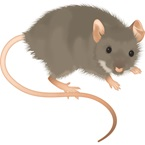 House Mouse - Bayer Pest Control