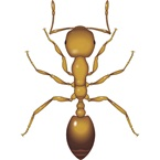 Pharaoh Ant