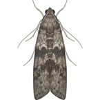 Warehouse Moth